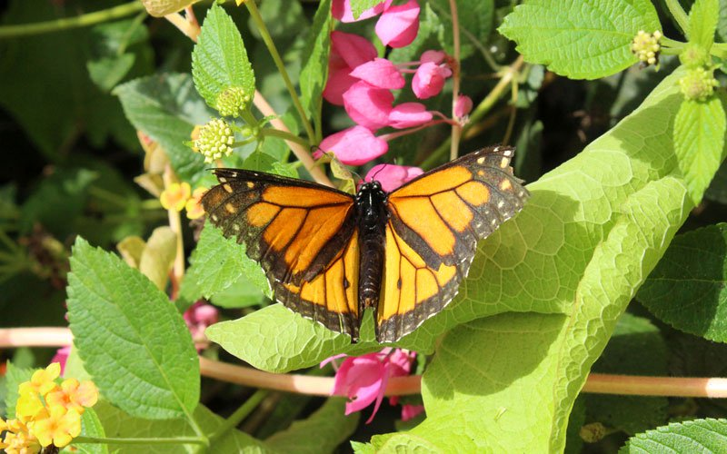 Some monarchs travel up to 3,000 miles to reach the California coast and the mountains of Michoacan in west-central Mexico, to escape the winters in the northern U.S. and southern Canada. (File photo by Mallory Price/Cronkite News)