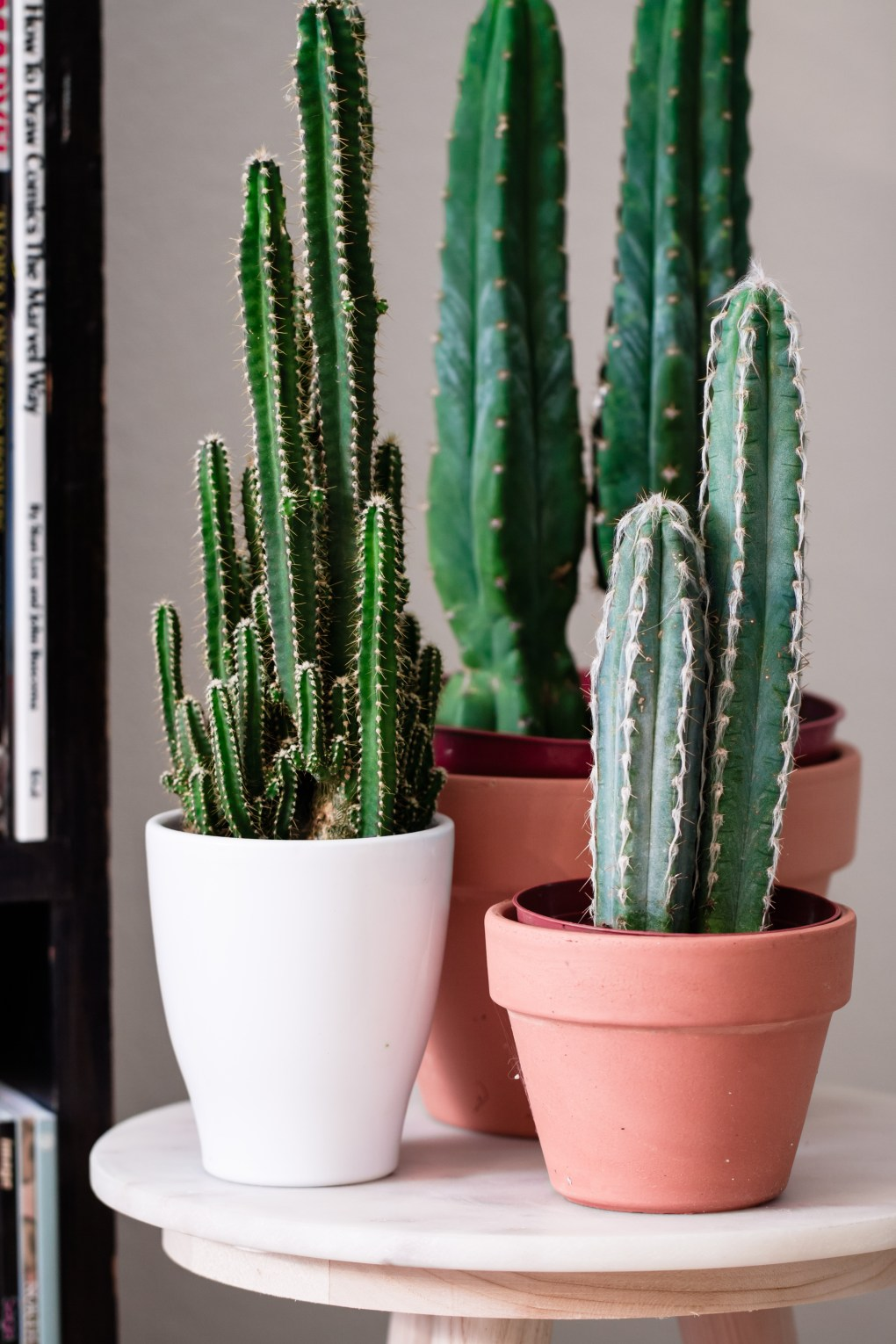 cacti cactus cactuses three potted cacti houseplants