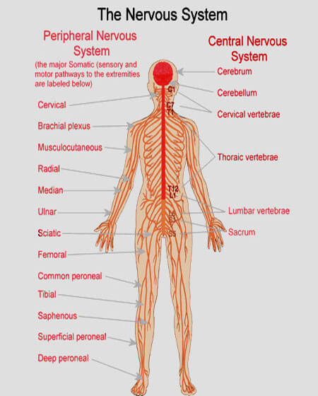 Image result for nervous system