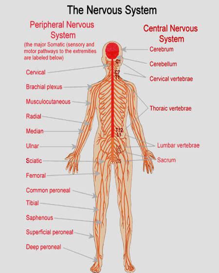 Image result for nervous system