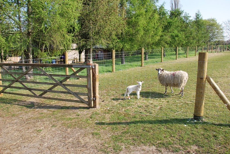 nescot film location ewell epsom surrey farm sheep lambs