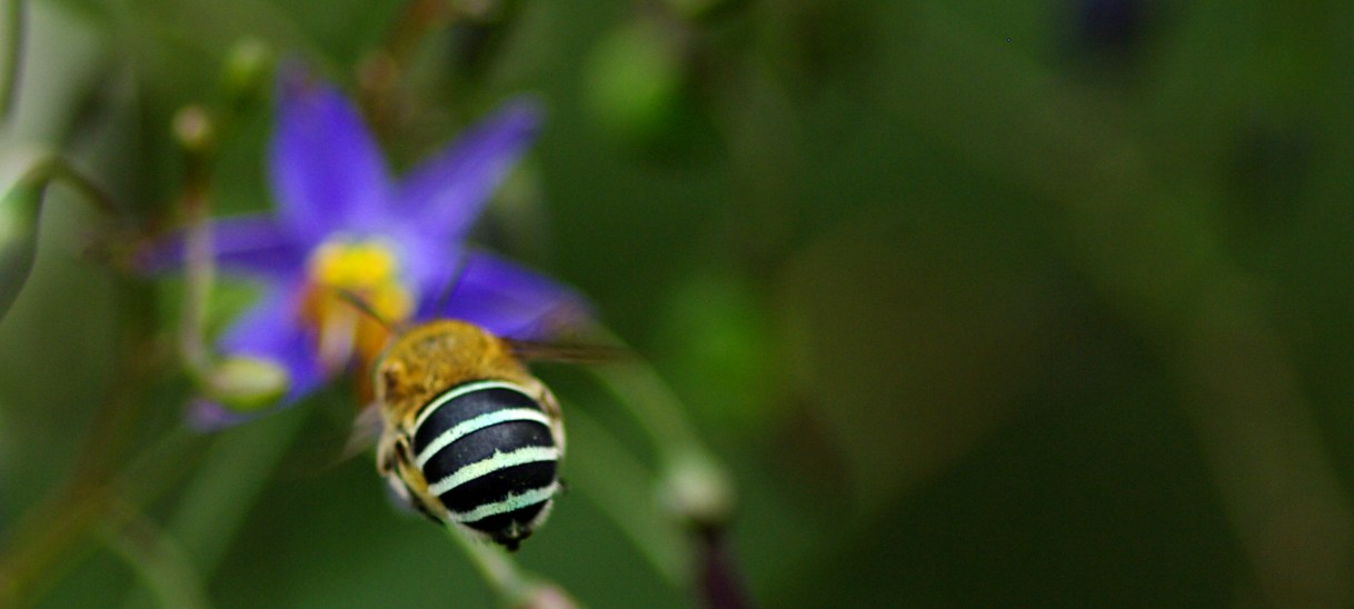 Pollinators in the city