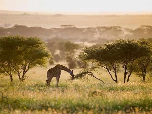 giraffe-serengeti-tanzania-africa
