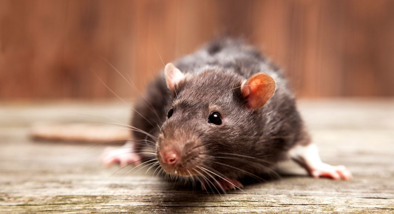 6 Best Mouse Baits Of 2020 Most Effective Traps For Mice And Rats Nestlords
