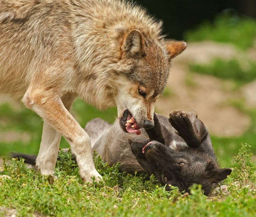Att dansa med vargar