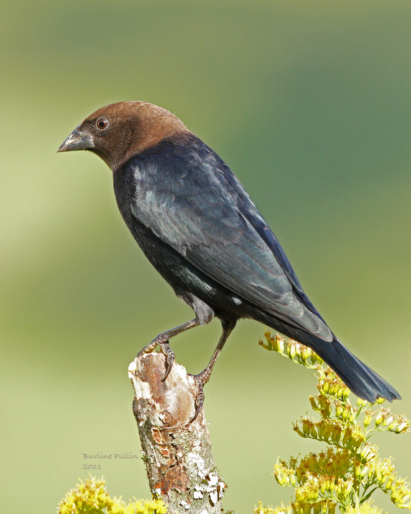 Male Brown-headed Cowbird