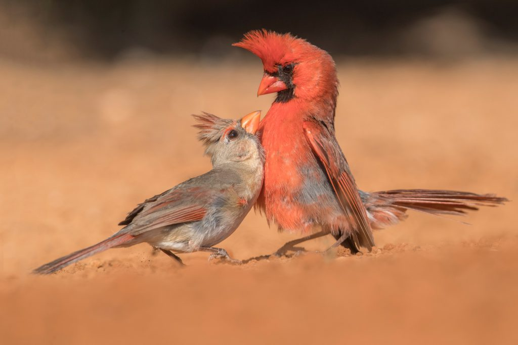 Northern Cardinals reinforcing their pair bond won the Home Tweet Home Judges' Choice award and Eyewitness category. Photo by Kim Caruso