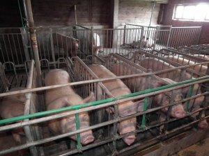 svinje-objekat 776