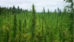 Plantaža-marihuane