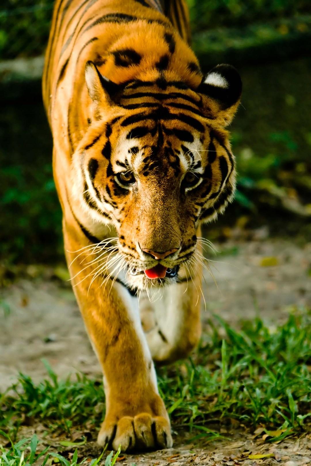 Tiger | Dusit Zoo Bangkok