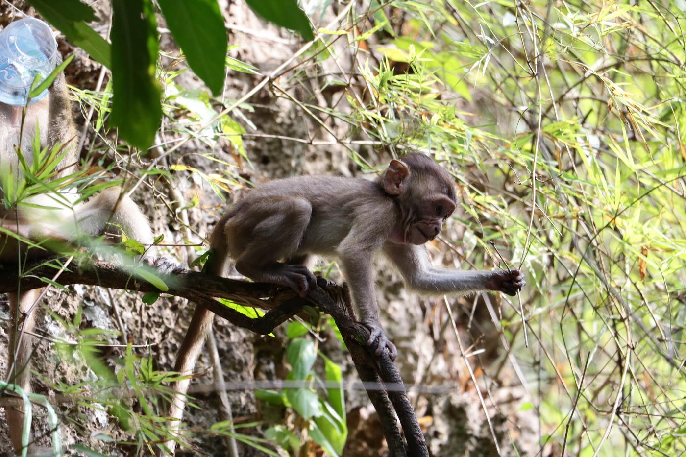 Wild monkey on the way to the beach