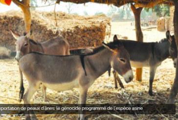 Exportation de peaux d'ânes: le génocide programmé de l'espèce asine