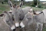 Condamnation de prison ferme des voleurs d'ânes pris par des Kolg-Wéogo