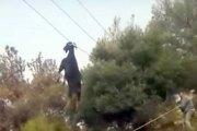 Une chèvre suspendue par les cornes à un câble