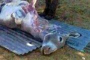Mali - Ségou : Vaste complot contre les ânes