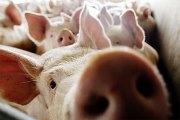 Le coin du jeûneur : pourquoi le porc est-il interdit en islam ?