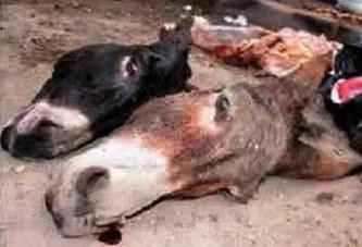 Sénégal – Recrudescence des boucheries d'ânes: Les éleveurs montent au créneau