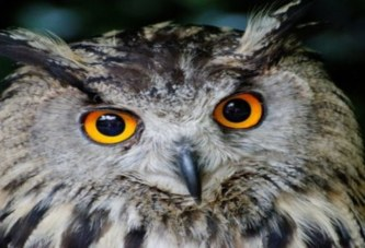 A la découverte des hiboux, ces oiseaux nocturnes pleins de mythes prisés un peu partout