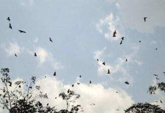 Côte d'Ivoire : Un village attaqué par des milliers de chauves-souris