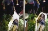 Un homme retrouvé dans le ventre d'un python (photo / vidéo)