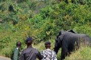 Insolite - Côte d'Ivoire : Un éléphant surgit dans un village et massacre 2 villageois avec sa  trompe