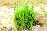 Le vétive: une plante désinfectante et aphrodisiaque