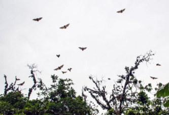 Burkina Faso: La chasse aux chauves-souris toujours interdite