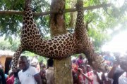 Côte d'Ivoire: Un léopard surgit dans un village et s'attaque à la population