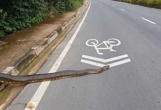 Brésil: Un anaconda de 3,5 mètres traverse tranquillement la route (Vidéo)