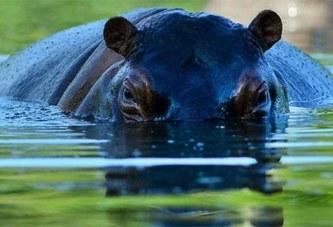 Un hippopotame belliqueux attaque un hélicoptère mais va le regretter (photo)