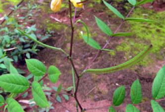 Le kinkeliba : son importance dans le traitement des maladies du foie