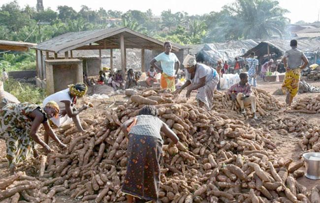 En Afrique de l'Ouest, l'»Ebola du manioc» menace la sécurité alimentaire