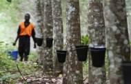 Le caoutchouc ne fait plus recette en Côte d'Ivoire, 1er producteur africain