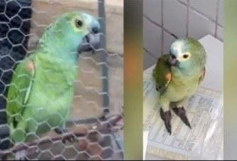 Brésil: Un perroquet arrêté pour complicité de trafic de drogue (vidéo)