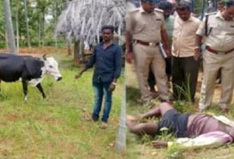 Inde: un voleur meurt après avoir reçu un coup d'une vache volée dans ses parties intimes