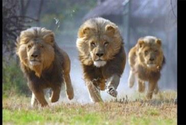 Afrique du Sud : L'évasion de 14 lions d'un parc provoque la panique