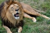 Nigéria: Il fait garder sa maison par un lion