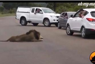 Les lions sont avant tout des animaux sauvages. Ces touristes l'ont bien compris