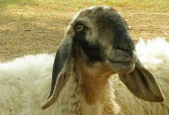 Ghana : Un homme surpris en pleine relation sexuelle avec un mouton