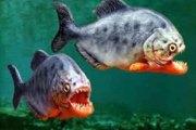 Une attaque de piranhas blesse plus de 70 personnes en Argentine