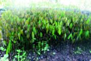 Production du caoutchouc:  Les premiers pas de l'hévéa au Burkina Faso