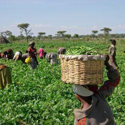 coronavirus disrupts crop season
