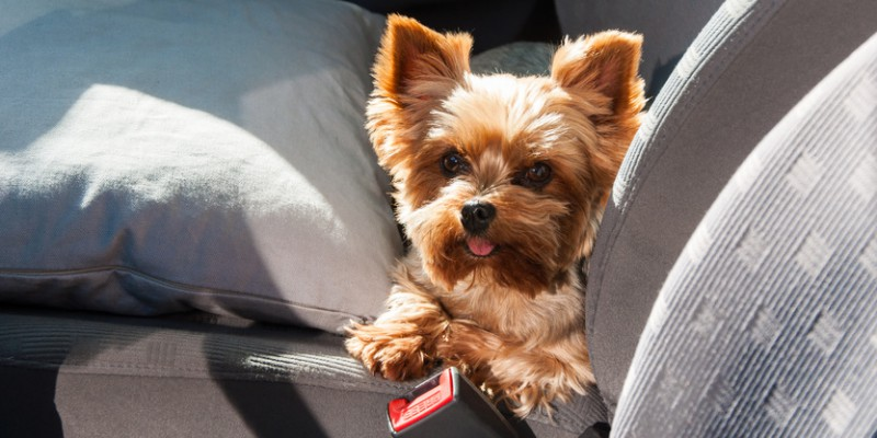 Puppy yorkshire terrier in the car