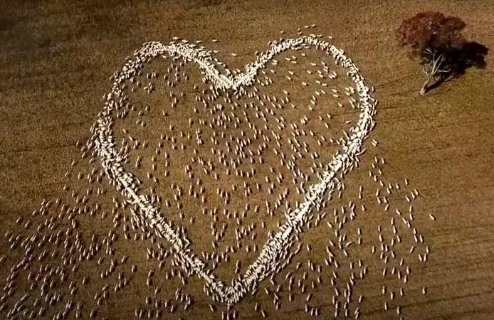 Un fermier en deuil forme un cœur avec… ses moutons