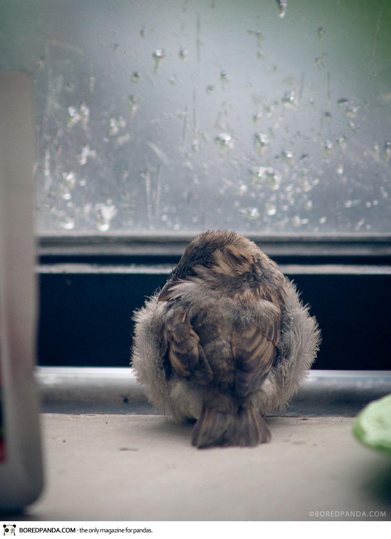 found-blind-baby-sparrow-below-my-balcony-880-10