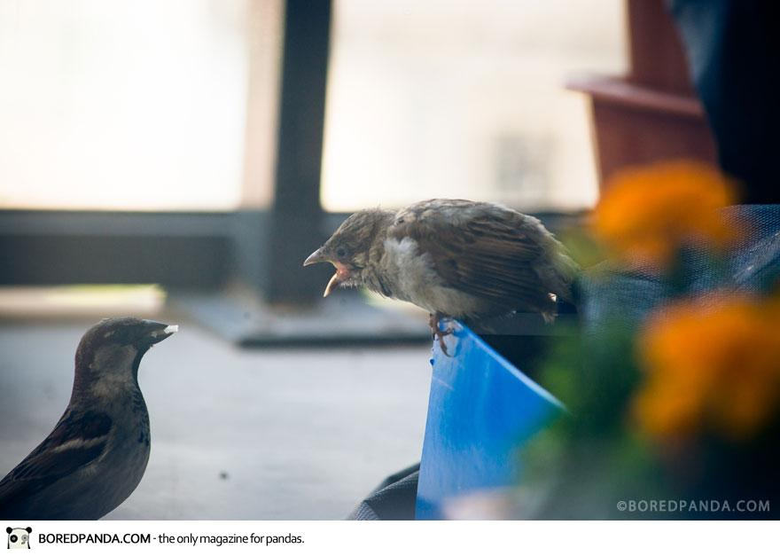 found-blind-baby-sparrow-below-my-balcony-880-11