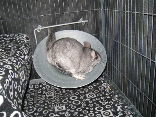 Chinchilla-Exercise-Wheel-photo-by-monnibo-2