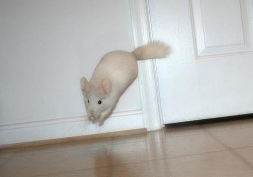 chinchilla-playing