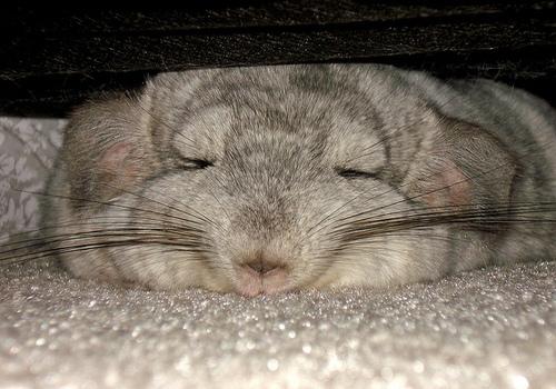 sleeping-chinchilla