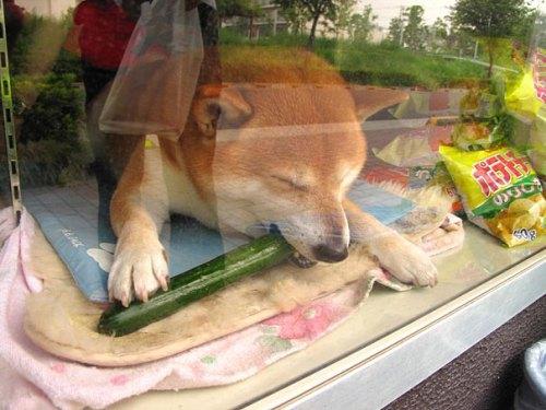 dog-opens-counter-window-shiba-inu-doge-4